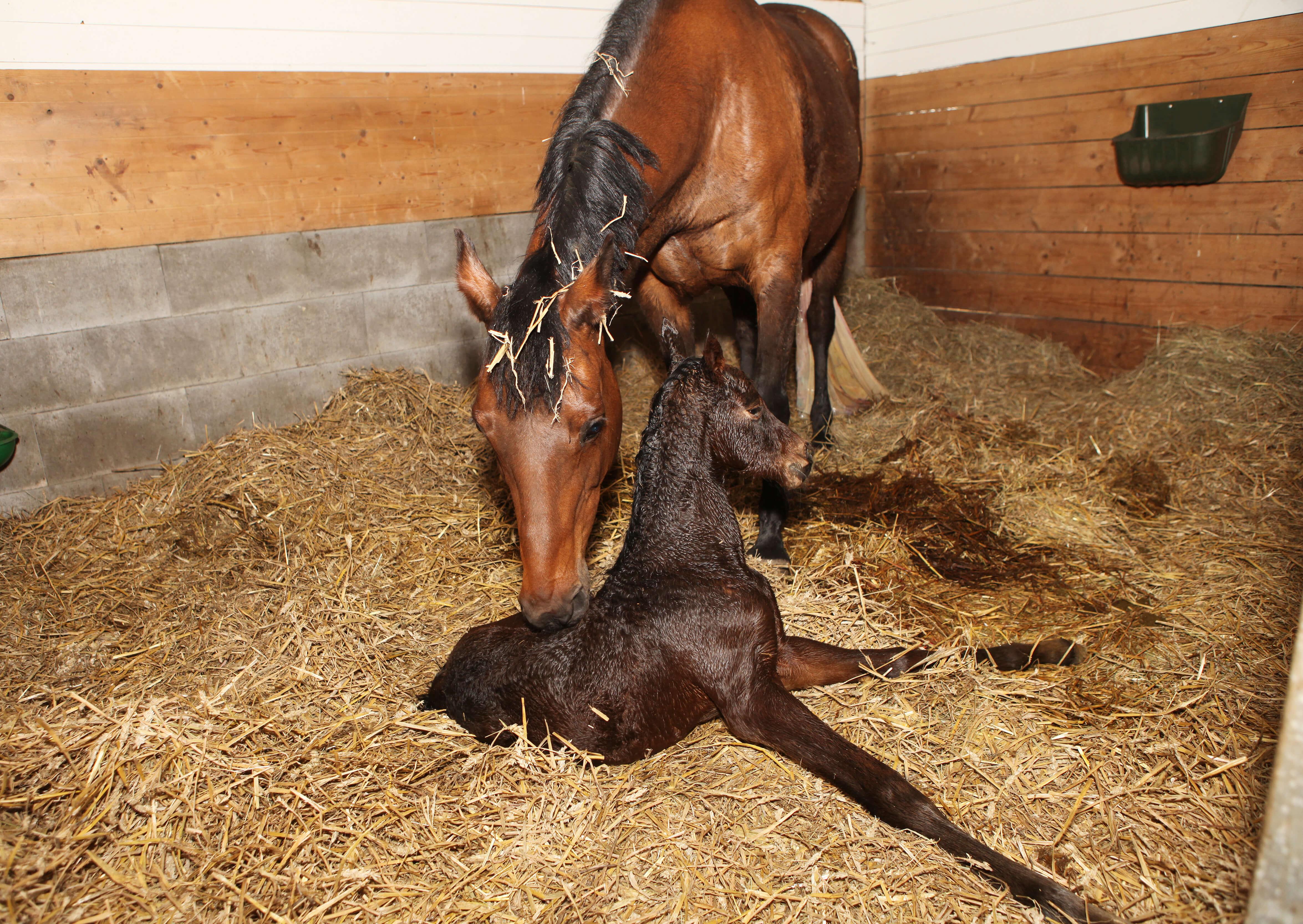 Mutterstute mit Fohlen nach der Geburt in der Pferdebox