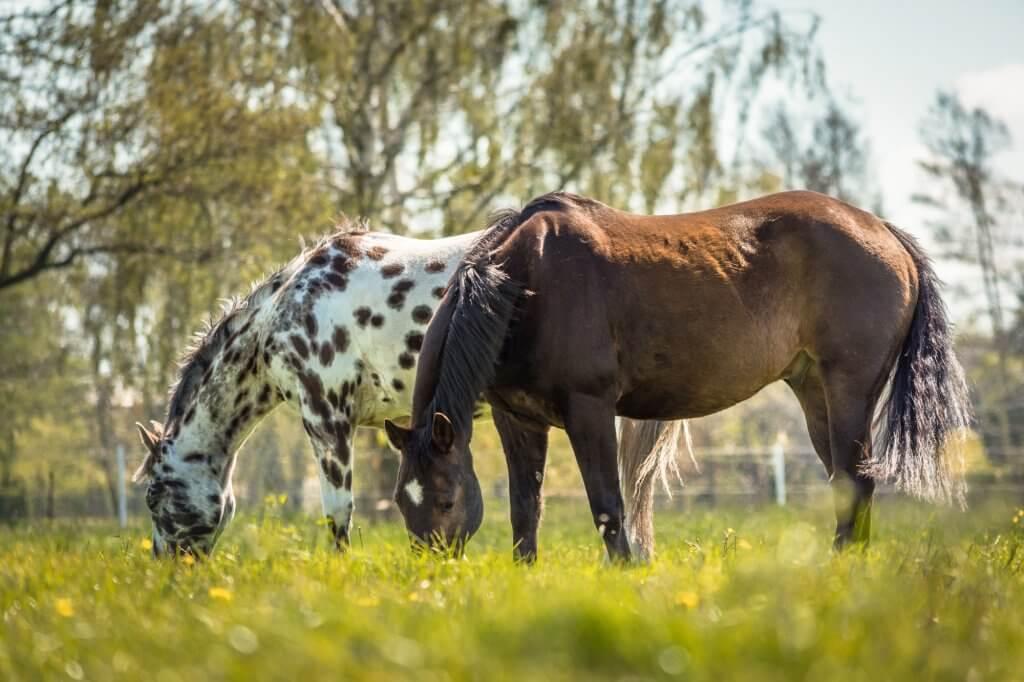 Pferde auf der Koppel beim Gras fressen nach Wurmkur